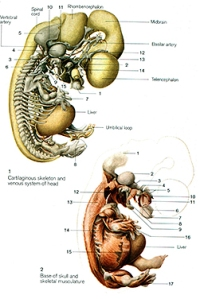 Human embryo at Stage 20 showing the cartilage skeleton and skeletal musculature. About days 50 - 51 days (Ulrich Drews, Color Atlas of embryology, page 99)