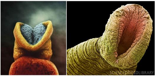 Embryo like a leech?