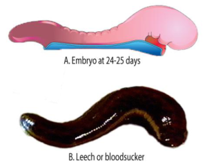A, shows a lateral view of an embryo (size 2.5-3.0mm) at days 24 to 25. (Modified from Moore & Persaud: The Developing Human 8th Edition) B, Hirudo medicinalis, medicinal leech (modified from The Human Body. The Incredible Journey from Birth to Death, © BBC Worldwide Ltd, 1998)