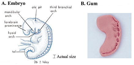 Comparing the appearance of an embryo at the mudghah stage with a piece of gum that has been chewed. A, an embryo at around 26 days showing several pairs of bead-like somites. (The Developing Human, Moore and Persaud, 5th ed., p. 79.) B, photograph of a piece of gum that has been shaped like an embryo and then chewed. Note how the teeth marks on the chewed substance resemble somites of the embryo.